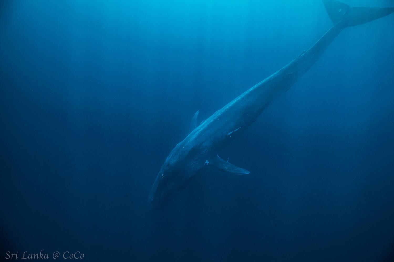 斯里蘭卡藍鯨