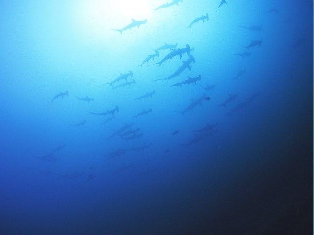 日本槌頭鯊