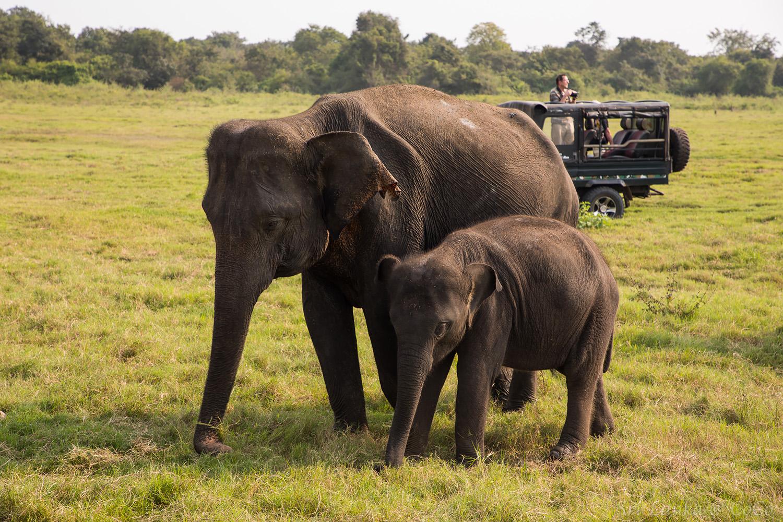 斯里蘭卡大象